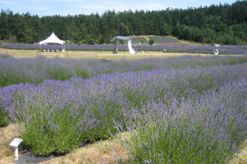 Pelindaba Lavender Farm, San Juan Islands