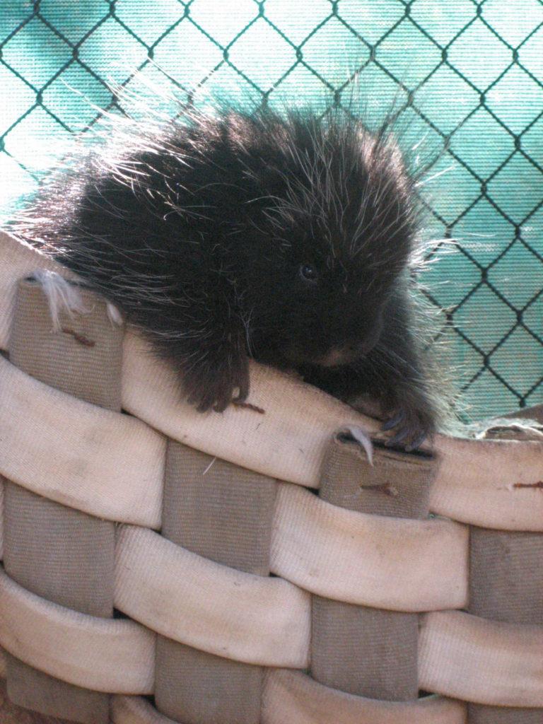 A porcupine at the Moonridge Zoo in Big Bear, California
