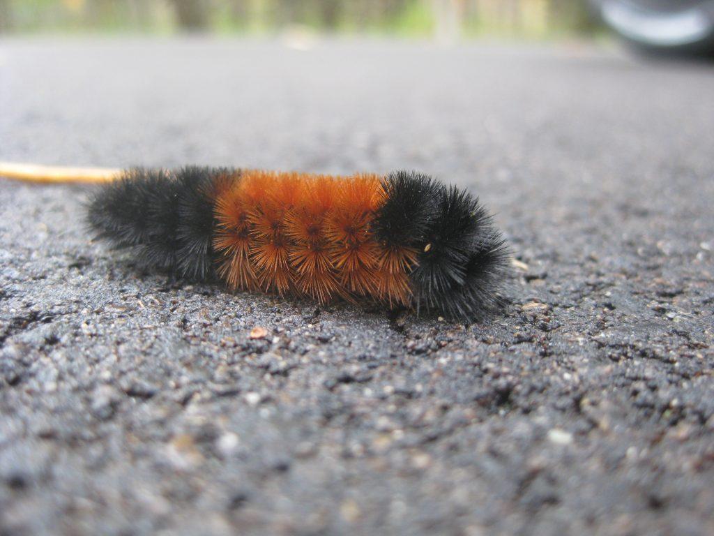 Orange-and-black caterpillar in Door County, Wisconsin
