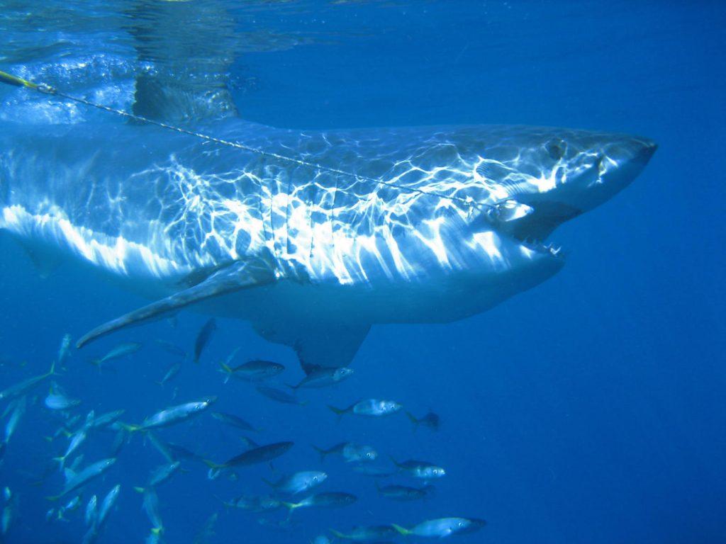 Great white shark takes bait