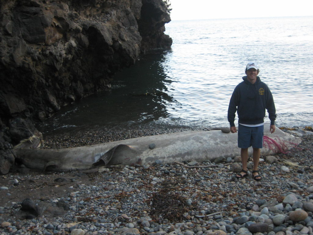 Basking shark corpse on Santa Cruz, Channel Islands, California