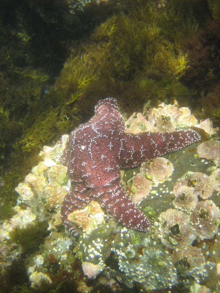 Sea star, Channel Islands, California